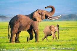 大象的產肉量是豬的十幾倍,為什麼人不大規模飼養大象來吃肉呢?