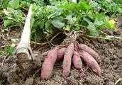 種紅薯是怎麼樣留種?