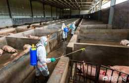 怎麼預防不讓家裡的豬得非洲豬瘟?