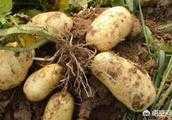 馬鈴薯該如何播種比較好呢?