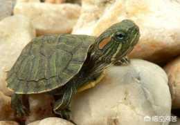 用燒開過的自來水可以養烏龜嗎?