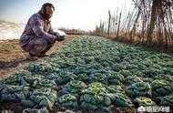 寒流即將來襲,溫室外的露天蔬菜該怎麼辦?如何預防凍害?