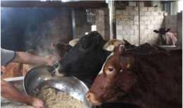 豆腐渣可以喂牛嗎?要注意哪些問題?