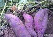 我想種紫薯,產量怎麼樣?