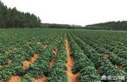 紫薯什麼時候種植的?